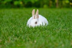 Rust en snoepje weinig witte konijnzitting op groen gras royalty-vrije stock foto's