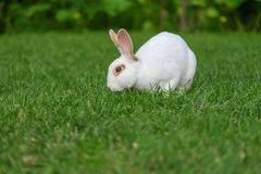 Rust en snoepje weinig witte konijnzitting op groen gras royalty-vrije stock foto