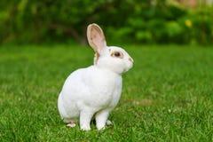 Rust en snoepje weinig witte konijnzitting op groen gras stock foto's