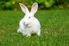 Rust en snoepje weinig witte konijnzitting op groen gras royalty-vrije stock fotografie