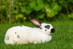Rust en snoepje weinig witte konijnzitting op groen gras stock foto