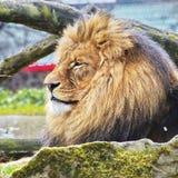 Rust Lion Portrait in Zonnige dag Royalty-vrije Stock Afbeelding