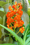 Rust-red Ascocentrum orchid flowers in orange blossoming in trop Royalty Free Stock Photo