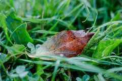 Rust red autumn leaf on the grass with dew drops. Royalty Free Stock Photos