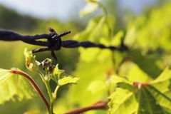 Rusted and Grapevine Covered. Closeup of rusty barbed wire overgrown with grapevine stock photography
