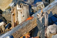 Rusted iron embedded in wood along South Jetty Royalty Free Stock Image