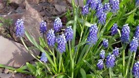 Rusteloos stuntel bij tirelessly fladdert van bloem aan bloem op zoek naar nectar, stuifmeel stock videobeelden