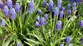 Rusteloos stuntel bij tirelessly fladdert van bloem aan bloem op zoek naar nectar, stuifmeel stock footage