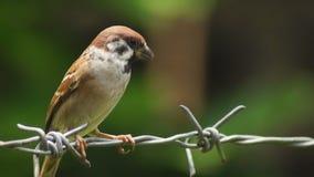 Rusteloze Filippijnse montanus die van Maya Bird Eurasian Tree Sparrow of Passer op prikkeldraad neerstrijken die voedsel zoeken stock video