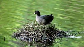 Rusteloze koet en haar nest, Brummen, Nederland Royalty-vrije Stock Afbeeldingen