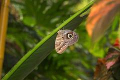 Rustend Owl Butterfly Royalty-vrije Stock Afbeelding