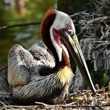 Rustende Bruine pelikaan Stock Fotografie