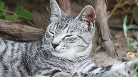 Rustende Cat Close-Up stock video