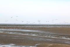 Rustende en vliegende eenden in Waddenzee, Ameland, Holland royalty-vrije stock foto's