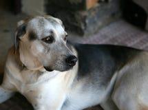 Rustende hond Royalty-vrije Stock Foto's