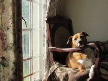 Rustende hond Stock Foto's