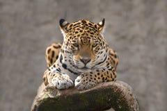 Rustende jaguar Stock Foto's