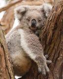 Rustende koala Royalty-vrije Stock Afbeelding