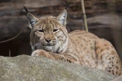 Rustende Skandinavische lynx, Lynx l lynx tijdens de de herfstzonneschijn Stock Afbeeldingen
