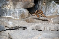 rustende tijger 2 stock foto's