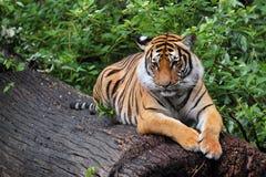 Rustende tijger Stock Foto's