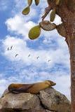 Rustende zeeleeuw Stock Afbeelding