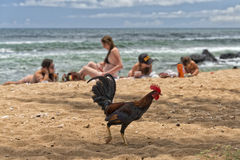 Ruster chicken on hawaian beach. Ruster chicken portrait in hawaii Royalty Free Stock Images