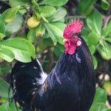 Ruster chicken portrait in Hawaii Stock Images
