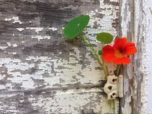 Rustic aged painted wood and nasturtium flower. Nasturtium flower growing on rustic, white painted, weathered and aged wood Stock Photography