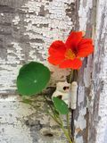 Rustic aged painted wood and nasturtium flower. Nasturtium flower growing on rustic, white painted, weathered and aged wood Royalty Free Stock Photography