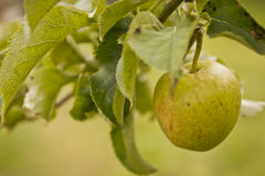 Rustic apple on a tree. Rustic apple hanging from a tree Royalty Free Stock Photos