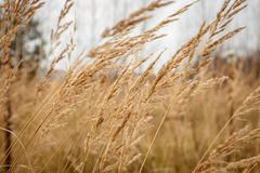 Rustic autumn grass swinging from the wind royalty free stock photo