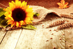 Rustic background with a sunflower and wheat. Rustic background with a bright colorful yellow sunflower and ripe golden ears of wheat on textured burlap fabric Royalty Free Stock Images