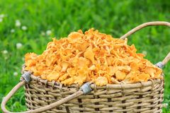 Rustic basket of freshly cut chanterelles Royalty Free Stock Image