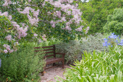 Rustic bench beneath a flowering Cape Chestnut tree Stock Photo