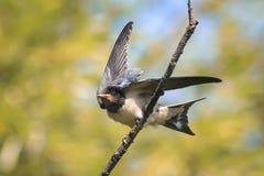 Rustic black swallow Stock Photo