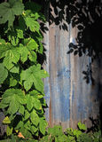 Rustic blue wooden texture with copy space with frame of natural herbal climbing plant in the sunshine Royalty Free Stock Photos