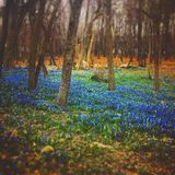 Rustic Bluebell Forest. From a fairytale stock images