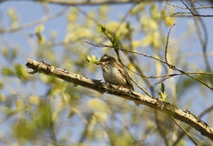 Rustic bunting. Stock Photography