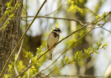 Rustic bunting. Royalty Free Stock Images