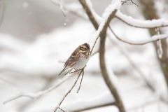 Rustic bunting on the tree of branch Stock Photo