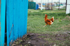 Rustic chicken brown coloring on a background of grass Royalty Free Stock Image