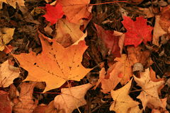 Rustic colored maple leaves, in all their autumn glory, as they lie on the forest floor awaiting win Royalty Free Stock Image