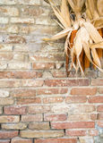 Rustic country theme. Detail of brik wall with corncobs Stock Images