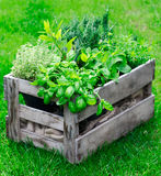 Rustic crate with fresh herbs. Rustic wooden crate on a lush garden lawn filled with fresh growing herbs as both an ornamental feature and for use in the kitchen Royalty Free Stock Photo