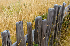 Rustic fence beside a golden field of grasses. Rustic fence along the border of a golden field of grasses Royalty Free Stock Photo