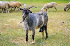 Rustic goat grazing on a green meadow. Royalty Free Stock Photo