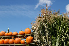 Rustic harvest scene with pumpkins and cornstalks royalty free stock photos