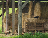 Rustic hay barn. With hay bales, wooden beams, a cat and a cock royalty free stock photo