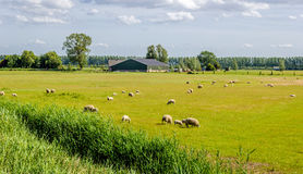 Rustic image of sheep grazing in a meadow with yellowed grass. At the edge of a ditch. In the background a modern barn is visible Stock Images